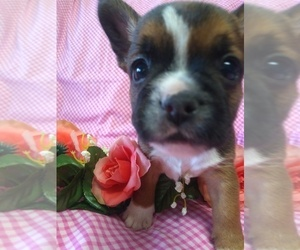 French Bulldog-Yorkshire Terrier Mix Puppy for Sale in EPHRATA, Pennsylvania USA