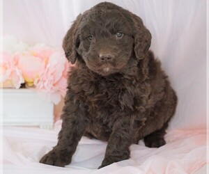 Newfoundland-Poodle (Standard) Mix Dog for Adoption in FREDERICKSBG, Ohio USA