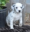 Dalmatian Puppy For Sale in ATWOOD, IL, USA