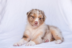 Australian Shepherd Puppy For Sale in LOS ANGELES, CA, USA