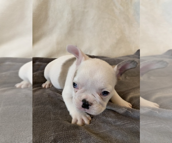 Medium Photo #4 French Bulldog Puppy For Sale in JOHNS ISLAND, SC, USA