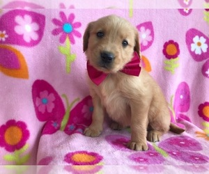 Golden Retriever Puppy for sale in QUARRYVILLE, PA, USA