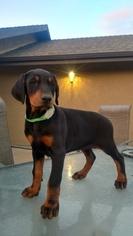 Doberman Pinscher Puppy For Sale in PASO ROBLES, CA