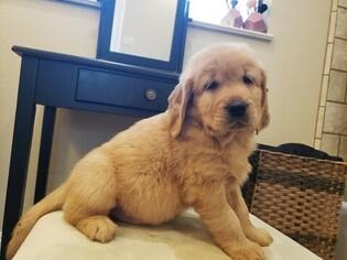 Golden Retriever Puppy For Sale in FRESNO, CA, USA