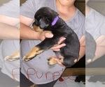 Puppy 0 Rottweiler