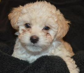 Maltipoo Puppy For Sale in SHREVEPORT, LA