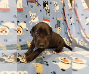 Great Dane Puppy for Sale in NEW BRAUNFELS, Texas USA