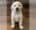 Puppy 2 Golden Labrador