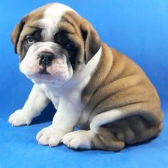 Bulldog Puppy For Sale in DALLAS, TX