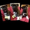 Akita Puppy For Sale in CHESAPEAKE, VA, USA