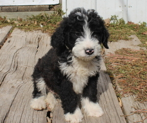 Bernedoodle Puppy for Sale in JOICE, Iowa USA