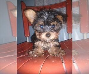 Havashire Puppy for Sale in MC MINNVILLE, Tennessee USA