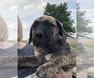 Mastador Puppy for Sale in MONTGOMERY, Indiana USA