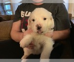 Puppy 7 Great Pyrenees-Labrador Retriever Mix