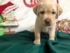 Small #39 Labrador Retriever