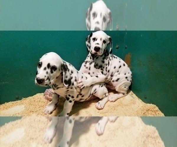 Medium Photo #2 Dalmatian Puppy For Sale in DUVALL, WA, USA