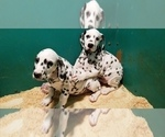 Small Photo #2 Dalmatian Puppy For Sale in DUVALL, WA, USA