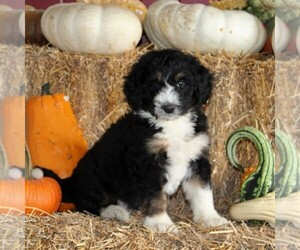 Bernedoodle Puppy for sale in MANHEIM, PA, USA