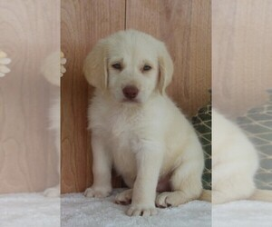 Labradoodle Puppy for sale in ITASCA, TX, USA
