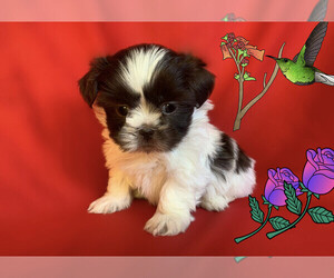 Shih Tzu Puppy for sale in SAN FRANCISCO, CA, USA