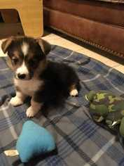 Pembroke Welsh Corgi Puppy for sale in BALTIMORE, MD, USA