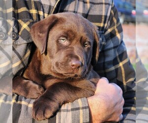 Labrador Retriever Puppy for sale in MYERSTOWN, PA, USA