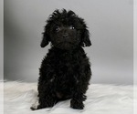 Puppy 6 Poodle (Miniature)