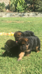 German Shepherd Dog Puppy For Sale in SAN DIEGO, CA, USA