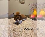 Puppy 5 Basset Artesian Normand