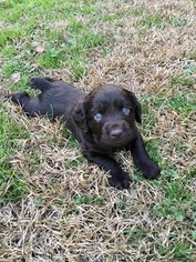Boykin Spaniel Puppy for sale in CHAPIN, SC, USA