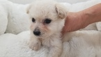 Maltipoo Female Tammy