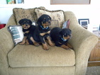 Rottweiler Puppy For Sale in ROGUE RIVER, OR, USA