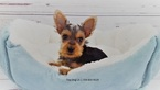 Yorkshire Terrier Puppy For Sale in LA MIRADA, CA,