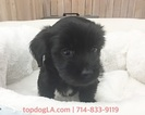 Poodle (Toy)-Yorkshire Terrier Mix Puppy For Sale in LA MIRADA, California,