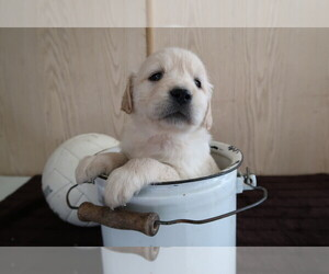 English Cream Golden Retriever Puppy for sale in FORT WAYNE, IN, USA