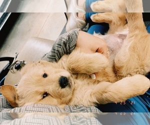 Golden Retriever Puppy for sale in BELMONT, NC, USA