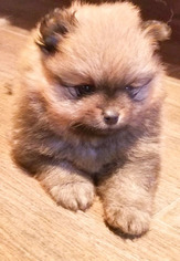 Pomeranian Puppy For Sale in EVERETT, WA, USA