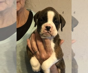 Boxer Puppy for sale in PORTSMOUTH, VA, USA