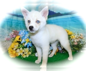 Pomsky Puppy for sale in HAMMOND, IN, USA