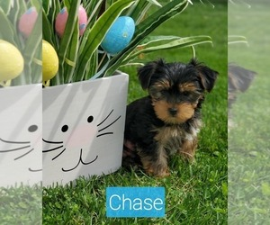 Yorkshire Terrier Puppy for sale in ROGERSVILLE, MO, USA