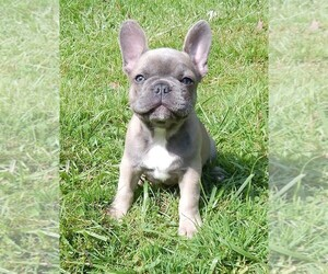 French Bulldog Puppy for sale in MEADVILLE, PA, USA