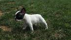 French Bulldog Puppy For Sale in FARMINGTON, MO,