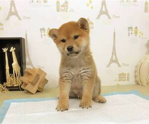 Shiba Inu Puppy for sale in BERKELEY, CA, USA