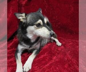 Mother of the Alaskan Klee Kai puppies born on 10/08/2020