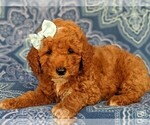 Small #5 Poodle (Miniature)
