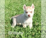 Brittany  Female  Limited AKC