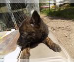 Small #8 Dutch Shepherd Dog