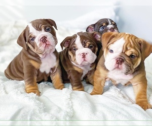 English Bulldog Puppy for Sale in CORONA, California USA
