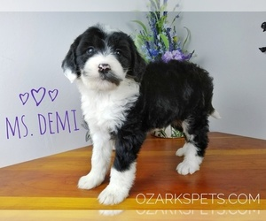 Sheepadoodle Puppy for sale in SEYMOUR, MO, USA