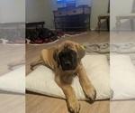 Puppy 1 Mastiff